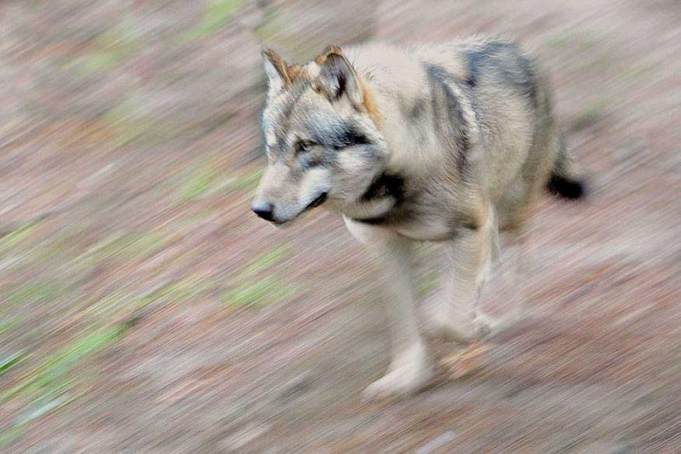 olaf_krause_grauwolf
