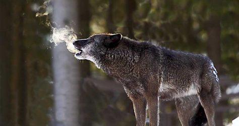 olaf_krause_nindorf_wolf_023